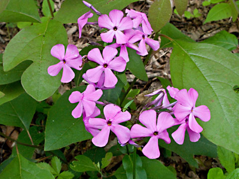 Phlox pilosa flower head mightylinksfo