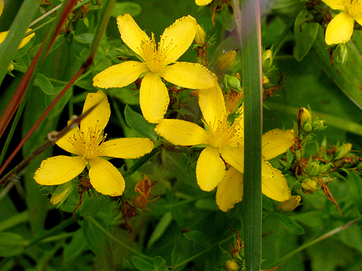 Hypericum perforatum flowers showing spotted petals common st johnswort mightylinksfo